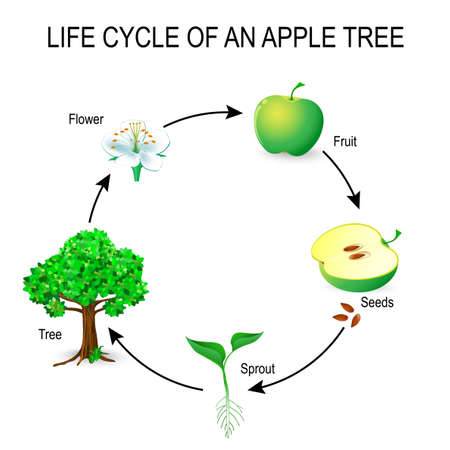 life cycle of an apple tree. flower, seeds, fruit, sprout, seed and tree.  The most common example of germination from a seed and life cycle of tree. Useful for study botany and science education