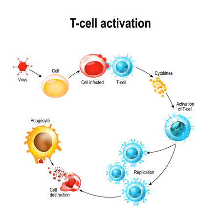 Ilustración de Activation of  T-cell leukocytes. T-cell encounters its cognate antigen on the surface of an infected cell. T cells direct and regulate immune responses and attack infected or cancerous cells. - Imagen libre de derechos