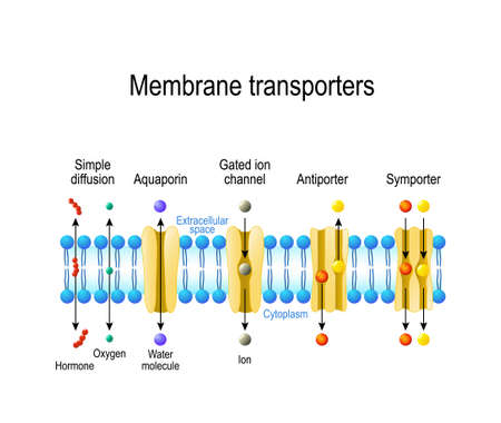 Photo pour Mechanisms for the transport of ions and molecules across cell membranes. Types of a channel in the cell membrane: simple diffusion, Aquaporin, Gated ion channel, Symporter and Antiporter - image libre de droit