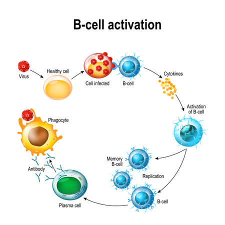 Illustration pour Activation of B-cell leukocytes illustration. - image libre de droit