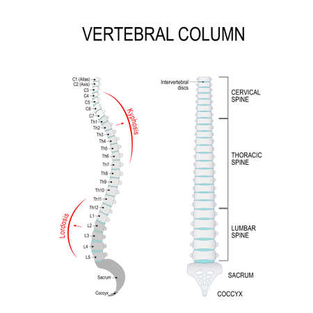 Illustration pour Vertebral column: cervical, thoracic and lumbar spine, sacrum and coccyx. - image libre de droit