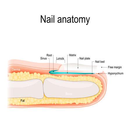 Ilustración de Structure of the nail. Human anatomy illustration. - Imagen libre de derechos