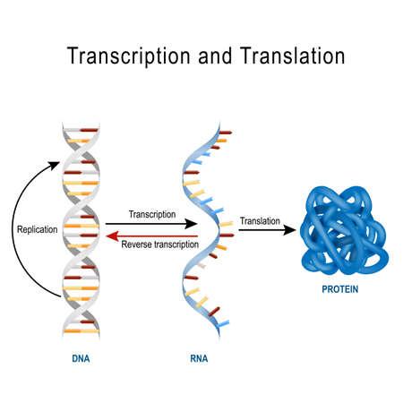 Ilustración de DNA Replication, Protein synthesis, Transcription and translation.  Biological functions of DNA. Genes and genomes. Genetic code - Imagen libre de derechos
