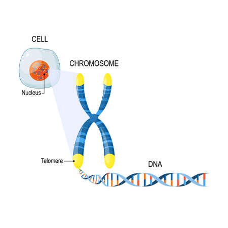 Ilustración de A telomere is a repeating sequence of double-stranded DNA located at the ends of chromosomes. Each time a cell divides, the telomeres become shorter. Cell Structure. The DNA molecule is a double helix. A gene is a length of DNA that codes for a specific protein. Genome Study. Cell, nucleus with chromosomes, telomeres, DNA, and gene - Imagen libre de derechos