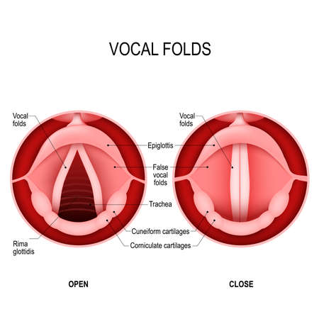 Illustration pour Vocal folds. The Human Voice. The vocal cords open to let air pass through the larynx, into the trachea. The vocal folds are open when we breath in and closed when we want to speak. open and closed vocal cords. voice reeds - image libre de droit