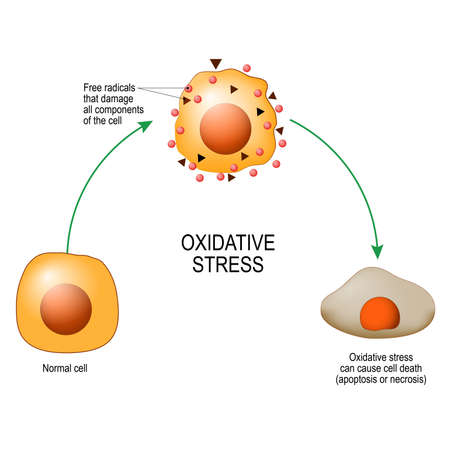Illustration pour Oxidative stress. From Normal cell, to Oxidative stress and aggressive free radicals, cell death. Vector diagram for your design, educational, science and medical use - image libre de droit