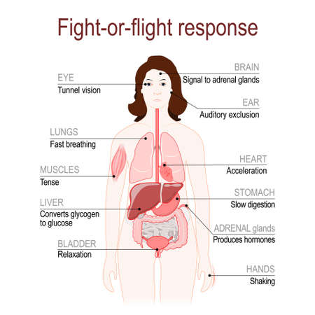 Ilustración de fight-or-flight response is a physiological reaction that occurs in response to threat to life. stress response system. Adrenaline and Norepinephrine. female silhouette with highlighted internal organs. Vector diagram for your design, educational, medical, biological and science use - Imagen libre de derechos