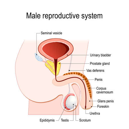 Illustration pour male reproductive system (Seminal vesicle, Vas deferens, Prostate gland, Testicles and Epididymis). Vector diagram for educational, medical, biological and science use. - image libre de droit