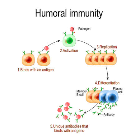 Illustration pour humoral immunity. antibody-mediated immunity. Viruse, Lymphocyte, antibody and antigen. Vector diagram for educational, biological, and science use - image libre de droit