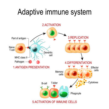 Illustration pour Adaptive immune system from Antigen presentation to activation of other immune cells. specific immune. T-helper and T-killer cells. Memory and Effector cells. Viruse, Lymphocyte, antibody and antigen. Vector diagram for educational, biological, and science use - image libre de droit