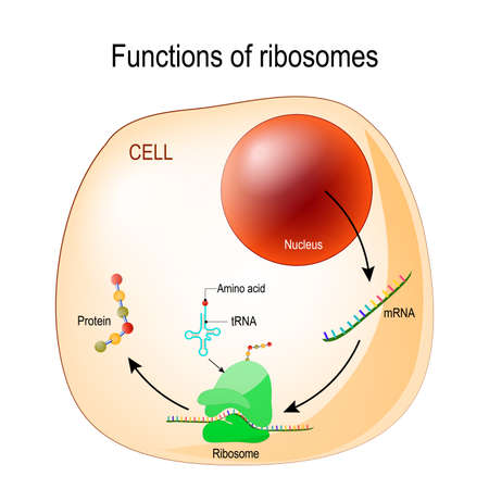 Illustration pour function of ribosomes. Cell with organelles: nucleus, mrna, proteins, tRNA and Ribosome. Process of translating mRNA into protein. vector for medical, educational, biologycal and science use - image libre de droit