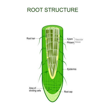 Ilustración de Root structure. Plant anatomy. The cross-section of the root with area of dividing cells, Xylem, Phloem, cap, epidermis, and hairs. Vector illustration for biological, science,  and educational use. - Imagen libre de derechos