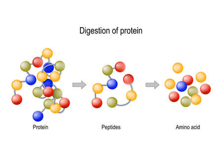 Ilustración de Digestion of Protein. Enzymes (proteases and peptidases) are digestion breaks the protein into smaller peptide chains and into single amino acids, which are absorbed into the blood. - Imagen libre de derechos