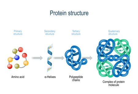 Ilustración de Levels of protein structure from amino acids to Complex of protein molecule. Protein is a polymer(polypeptide) that formed from sequences of amino acids. Levels of protein structure: Primary, Secondary, Tertiary, and Quaternary - Imagen libre de derechos