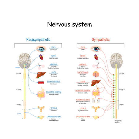 Illustration pour Sympathetic And Parasympathetic Nervous System. Difference. diagram with connected inner organs and brain and spinal cord. Educational guide of human anatomy.  vector illustration for medical and science use - image libre de droit