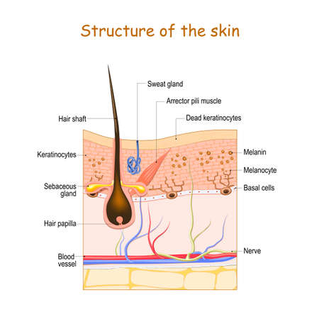 Illustration pour Skin layers with hair follicle, sweat gland and sebaceous gland. Cell structure of the Human skin. vector illustration - image libre de droit