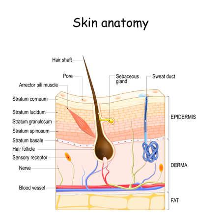 Illustration pour Skin anatomy. Cross section of the human skin. layers of the human skin (epidermis, dermis, fat), Hair follicle, Sensory receptor, Sweat and Sebaceous glands. - image libre de droit