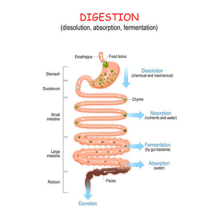 Illustration pour digestion (dissolution, absorption, fermentation). From food bolus or Chyme to Feces. Human digestive system: Esophagus, Stomach, Duodenum, Small and Large intestine, Rectum. Vector illustration for education - image libre de droit