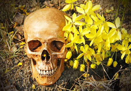 still life with human skull and Cassia fistula flower  Golden Shower Flower  on dry cracked ground