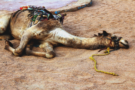 Tired camel