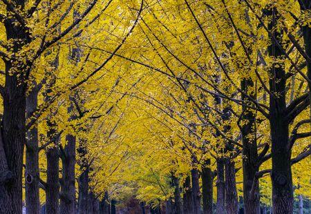 Foto de Yellow Leaves of Ginkgo in Autumn at at Nami Island South korea. - Imagen libre de derechos