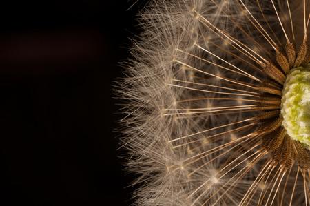Photo pour Closeup of dandelion - natural background. - image libre de droit