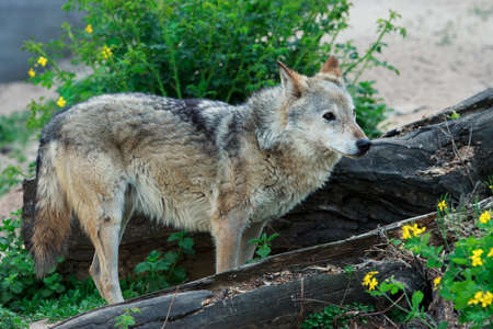 Wild forest wolf in summer on earth