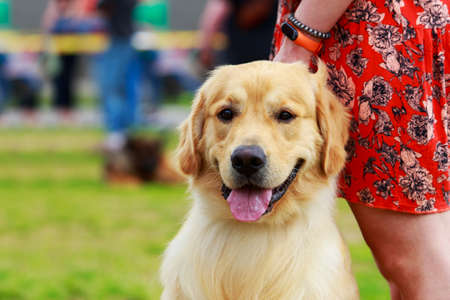 Photo for Portrait of a Golden Retriever breed dog - Royalty Free Image