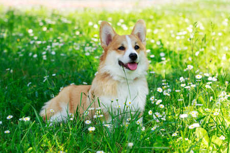 Photo pour Pembroke Welsh Corgi in a park on green grass - image libre de droit