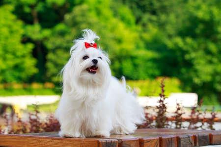 Photo pour Cute dog breed Maltese is standing on a pedestal in the park - image libre de droit