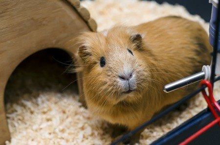 Small guinea pig stand next to wooden houseの写真素材