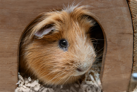 Portret of red guinea pig in her wooden house.の写真素材