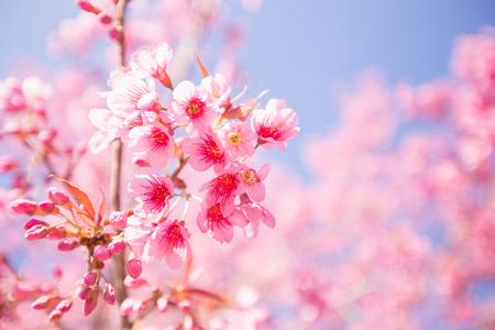 Photo pour Pink Sakura flower blooming. - image libre de droit