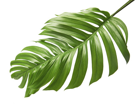 Photo for Monstera deliciosa leaf or Swiss cheese plant, Tropical foliage isolated on white background, with clipping path - Royalty Free Image
