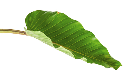 Photo pour Philodendron leaf (Philodendron melinonii), Large green foliage isolated on white background, with clipping path - image libre de droit