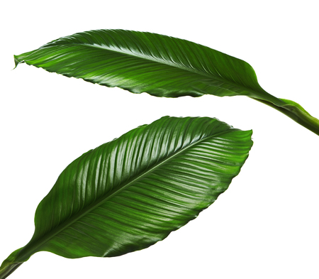 Photo for Large leaves of Spathiphyllum or Peace lily, Fresh green foliage isolated on white background, with clipping path - Royalty Free Image