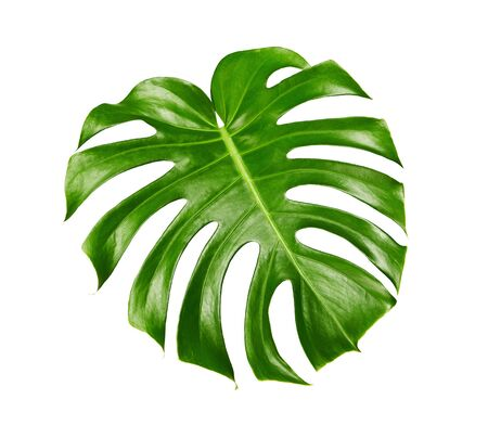 Photo pour Monstera deliciosa leaf or Swiss cheese plant, isolated on white background, with clipping path - image libre de droit