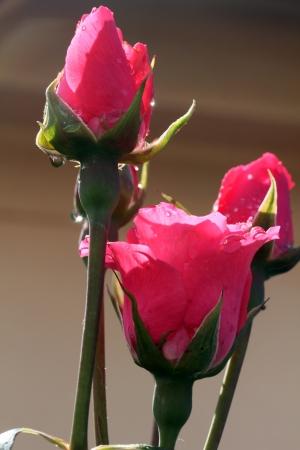 Closeup shot of pink roses, after the rain