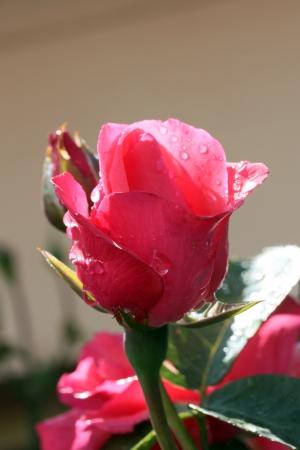 Closeup shot of pink rose, after the rain
