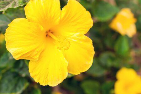 Photo pour Yellow hibiscus flowers in the garden. Close up shot. - image libre de droit