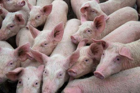 Photo pour Pigs diseases. African swine fever virus ASFV. - image libre de droit