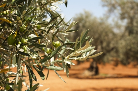 Olive plantation and olives on branch. Foreground