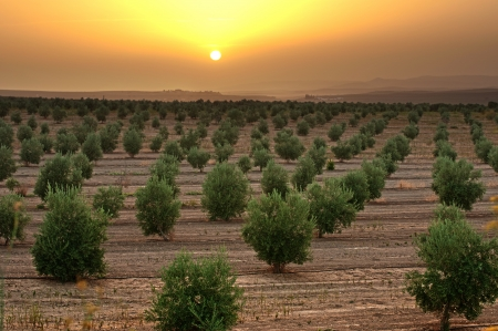 Olive trees in a row. Plantation and sunset cloudy sky