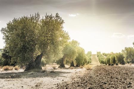 Photo pour Olive trees at sunset. Sun rays - image libre de droit