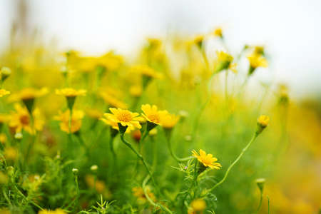 Photo pour Spring background with beautiful yellow flowers are naturally blurred. - image libre de droit