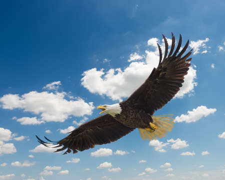 Majestic Texas Bald  Eagle in flight against a beautiful blue sky