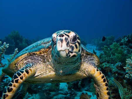 Hawksbill sea turtle on coral reef in Red Sea. Close up.