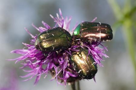 Three Bug on small purple  flower. Cetonia aurata