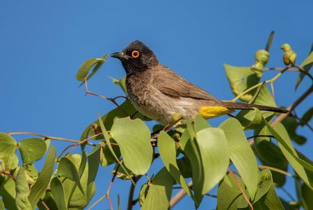 Black-fronted Bulbul - Pycnonotus nigricans, beautiful perching bird from African bushes and savannas, Namibia.
