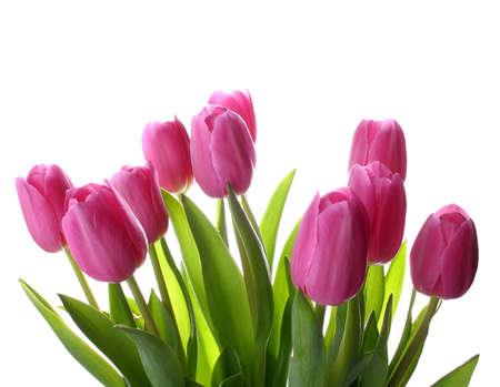 Foto de Fresh pink tulips isolated as background, closeup - Imagen libre de derechos